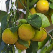 Citrus × sinensis